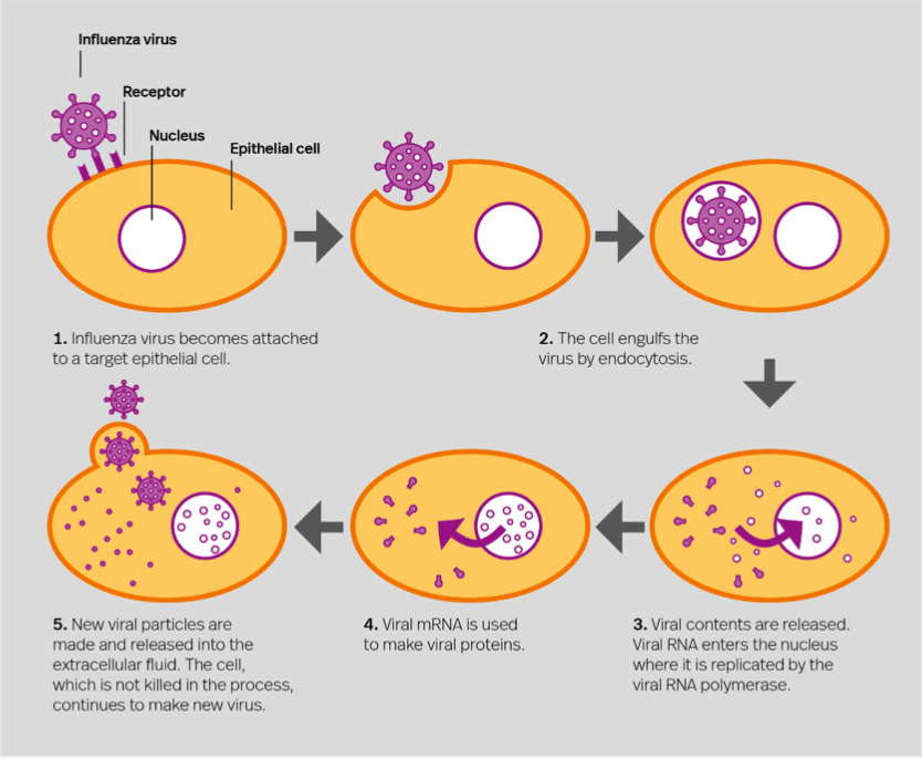 Viral entry — How cells are infected by a virus